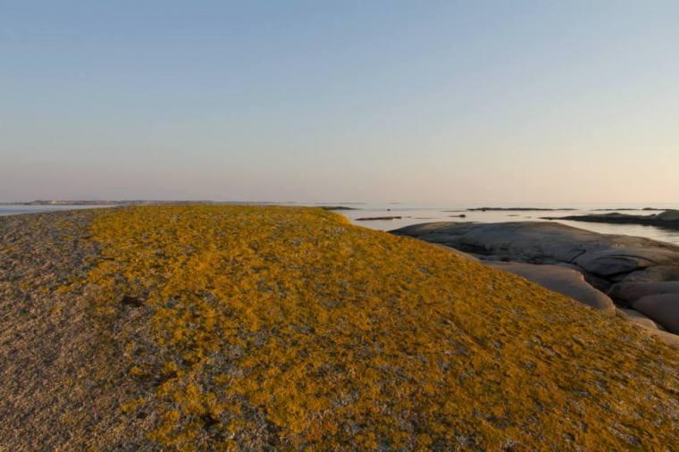 Blommande klipphäll på Vasholmarna
